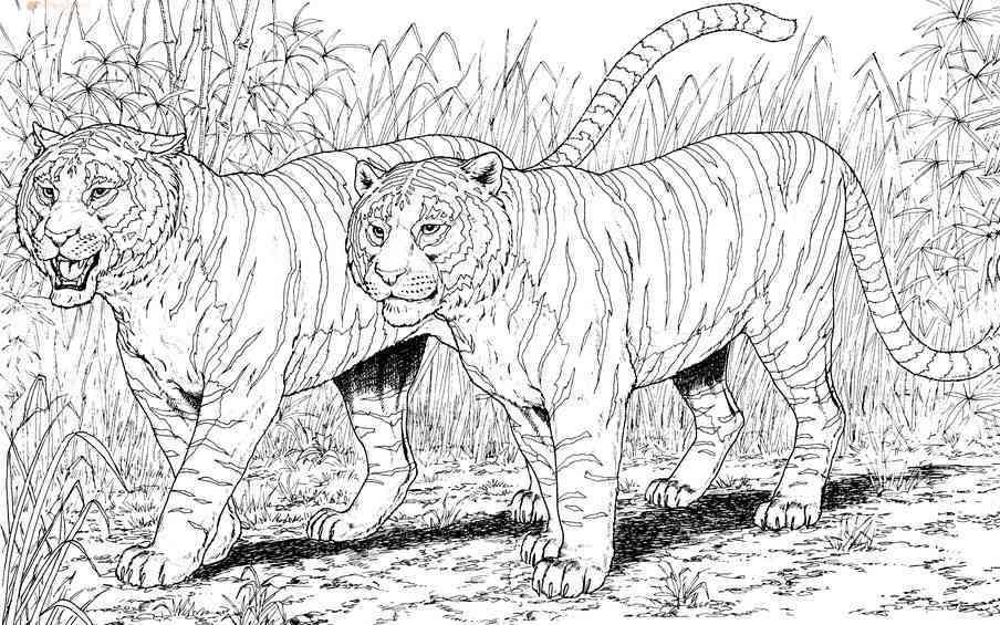 Раскраски тигров